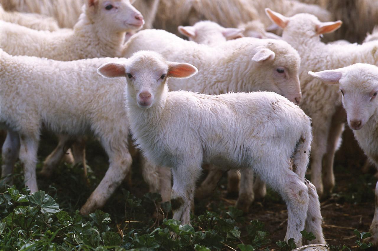 Sucarn, pionera en introducir el cordero sardo en el mercado español